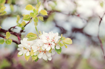 blooming wild pear colorful soft bokeh natural spring background