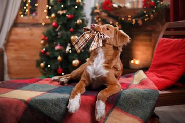 Dog Nova Scotia Duck Tolling Retriever holiday, Christmas