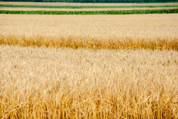 Field of Dry Golden Wheat in summer