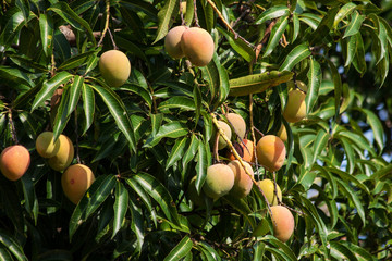 Mango Tree in Malawi, Africa.