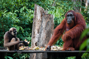 Gibbon and a Orangutang sitting eating together