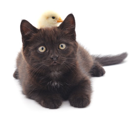 Chicken on kitten.