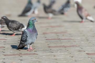 Pigeon on a sidewalk looking sideways