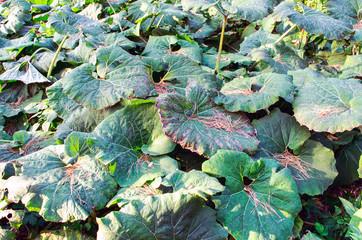 big green leaves of burdock