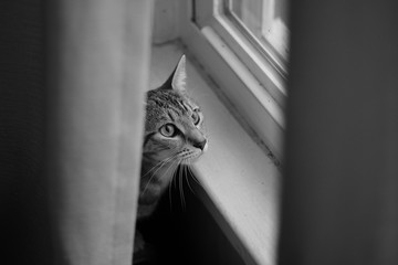 A black and white photo of a cat looking out of a window with curtains on either side.