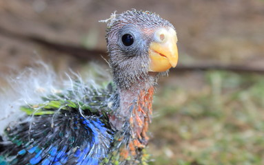 Close up head shot of orphaned baby Australian Rosella