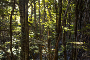 beech forest in New Zealand