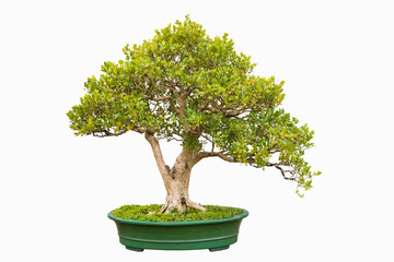 bonsai tree of chinese littleleaf box