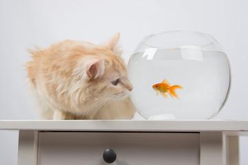 Cat looking at a goldfish in an aquarium