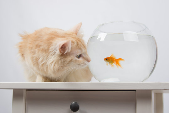 Cat looking at a goldfish in an aquarium