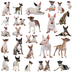 group of bull terrier