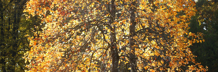 Tall autumn trees changing color