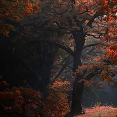 Picturesque autumn oak grove shade