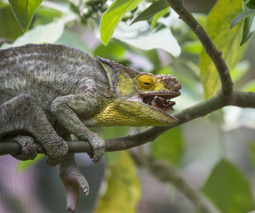 Chameleon eating insect. Close-up. Madagascar. An excellent illustration