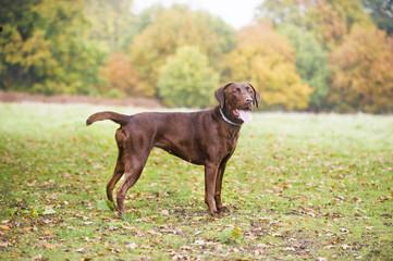 Chocolate brown labrador hunting