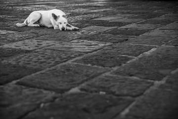 weisser Strassenhund