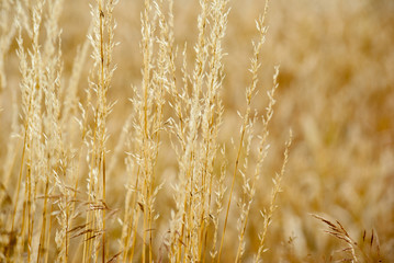 Field of Dry Golden Wheat in summer sun