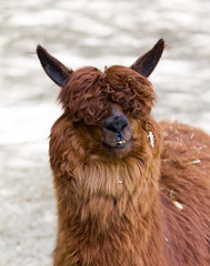 Portrait of a handsome alpaca