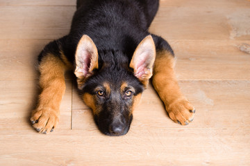 cute puppy dog german shepherd lying down on wooden floor