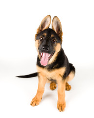 cute puppy german shepherd dog sitting on white background with tongue sticking out