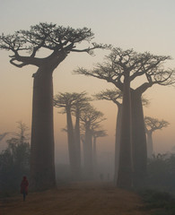 In de dag Baobab Avenue of baobabs at dawn in the mist. General view. Madagascar. An excellent illustration.