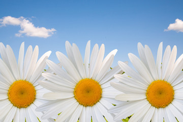beautiful flower daisy