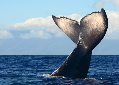 Humpback Whale Tail Wave in Maui