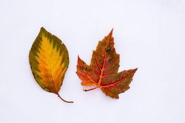 Fiery Colors on Fall Leaves