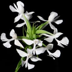 Wall Mural - Habaenaria dentata orchid