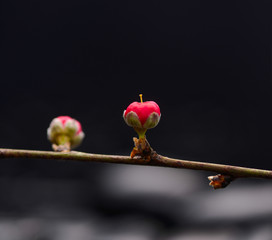 Black background with branch pink spring bud