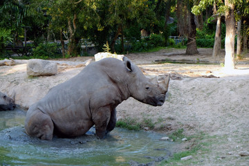 White rhinos in the pond