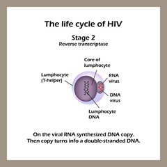 The life cycle of HIV. Stage 2 -The viral RNA synthesized DNA copy. World AIDS Day. Vector illustration