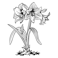Amaryllis lily flowers line art drawing isolated