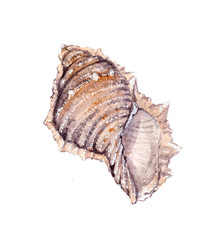 Sea shell. Watercolor painting isolated on white