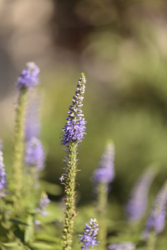 Purple lavender Lavandin flower, Lavandula X intermedia, blooms in a botanical garden