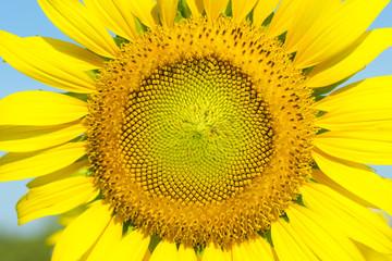 Sun flower. Close-up