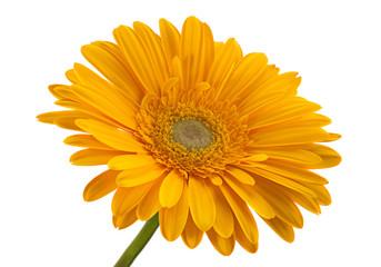 Yellow gerbera flower head