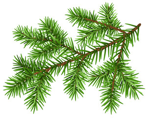 Pine tree branch. Green fluffy pine branch