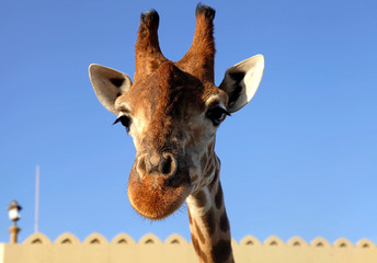 giraffe head close up on sky background