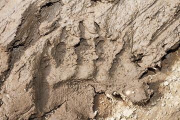 brown bear footprint