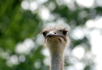 Ostrich face close up against forest background