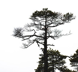 Bare pine tree branches