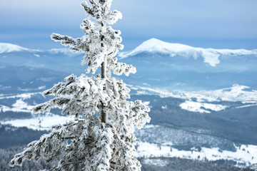 Pine tree in snow on a background of winter mountains
