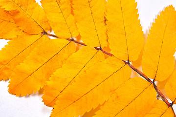 Autumn rowan tree leaf as background.