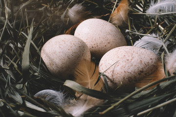 Eggs in a nest of green grass with feathers close-up