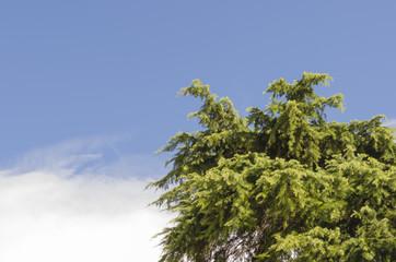 Cedar and sky