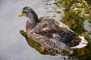 Duck in the river