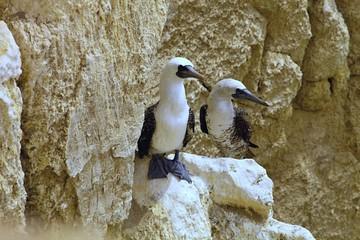colonies of Peruvian booby, Sula variegata, on the cliff, Matarani, Peru