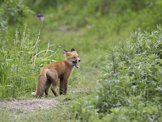 One a little fox in the wild