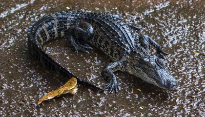 Miami, Florida, USA - Everglades Alligator Farm - Baby Alligator